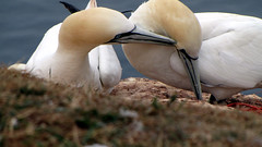 Love is natural (DiSorDerINaMirrOR) Tags: birds nature animals wild love helgoland island insel summer north germany sea adventure escape northsea caring seagulls animal northern gannet sula bassana