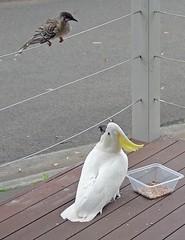 Yellow-crested Cockatoo and Wattle Bird . Jealousy about food (Uhlenhorst) Tags: 2015 australia australien animals tiere birds vgel travel reisen