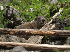 Daddy is watching (aniko e) Tags: mammals europe germany mountains alps murmeltier marmot sciuridae xerinae squirrels alpinemarmot mormota hiking outdoors wild family maroldschneid bavaria bayern ruins burrows marmotamarmota