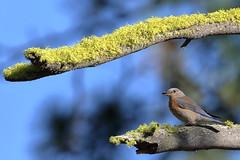 Western Bluebird Female (brian.bemmels) Tags: sialia mexicana scaliamexicana western bluebird westernbluebird cleelum wa female