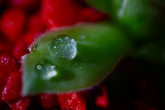 Drop (Klaudia D. P.) Tags: drop waterdrop rain raindrop shiny green red contrast light shadow composition bokeh dof macro closeup succulent plant flower water