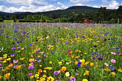 Le temps des fleurs (Excalibur67) Tags: nikon d750 sigma 24105f4dgoshsma paysage landscape flowers fleurs nature vosgesdunord jaune yellow bleu blue red rouge