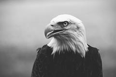 Bald eagle (Pavel Cervenka Photographer) Tags: bald eagle bird prey head look eye minimal detail closeup blackandwhite monochrome bw bokeh animal czech republic pavel cervenka canon 6d ef70200f4l zoom beautiful nice