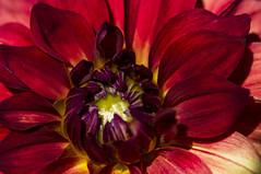 Da~lhia's heart (mariola aga ~ OFF) Tags: chicagobotanicgarden glencoe garden summer plant flower red dahlia macro closeup thegalaxy