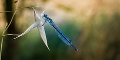Dragonfly (gabianelligiovanni) Tags: nature macro macrophotography closeup insect insetto libellula natura wild colori colors wing ali eyes blue blu ragonfly