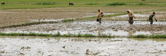 Mud fishing (I.M.W.) Tags: bangladesh srimangol sylhet fishing agriculture mud field women water rainyseason wetseason asia people