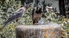 I told you it's my turn to take a drink! (mariajensenphotography) Tags: birds nature water animals italy rome travel tourist colisseum fountain drink