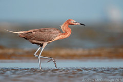 Reddish Egret (Let there be light (A.J. McCullough)) Tags: texas texasbirds bolivarpeninsula bolivarflats houstonaudubon birds egret reddishegret