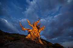 Blue Hour Pine (Jeffrey Sullivan) Tags: bluehour pine tree clouds weather easternsierra inyocounty california landscape photography workshop ancient bristlecone inyo national forest county bishop usa night sierra astronomy astrophotography nature milky way canon eos 6d photo copyright august 2016 jeff sullivan