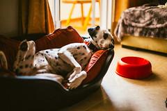 Vaga (Leo Hidalgo (@yompyz)) Tags: canon eos 6d dslr reflex random yompyz ileohidalgo fotografa vsco film cam love like dog animal dalmatian dlmata perro fuengirola mlaga espaa spain