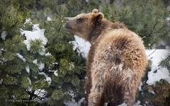 A Bear Behind (maryanne.pfitz) Tags: kodiakbear grizzlybear brownbear bear cub yearling male captive rescued sniffing grawing evergreen pinetree wildwoodzoo marshfield wisconsin mapkb6036 maryannepfitzinger