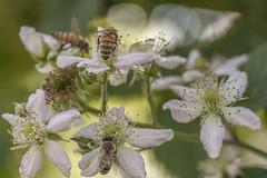 Bees at work (Karibu kwangu) Tags: apismellifera bee work flowers pollination ape fiori impollinazione