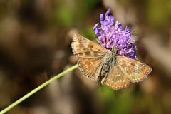 Falena (luporosso) Tags: natura nature naturaleza naturalmente nikond300s nikon falena farfalla farfalle papillon mariposa borboleta butterfly butterflies macro closeup