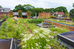 Danforth Gardening (Viv Lynch) Tags: toronto danforth bigcarrot carrotcommon garden greenroof ecology ontario city urban canada eastend organic gardening wildflowers bees broadview