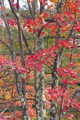 1849Fall09 (Robin Constable Hanson) Tags: autumn fall grey leaves lichen maple red tree vertical