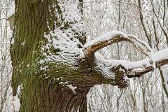 ckuchem-1638 (christine_kuchem) Tags: baumrinde buche bume eiche eis frost hainbuche natur pfad pflanzen ruhe samen spuren stille struktur wald weg wildpflanzen winter einsam kalt schnee ste