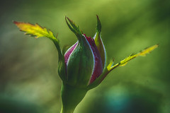 Rosebud (ralfkai41) Tags: ngc rose bokeh pflanze knospe blossom flower blume outdoor natur hdr plant bud focusstacking rosebud stack nature blte