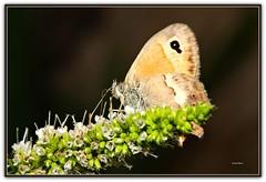 Farfalla su fiori di menta (Luciano Schano) Tags: picmonkey farfallasufioridimenta zenitobiettivo58mmf12helios442 sonyilce3000 ilce3000 sony3000 closeup menta fioridimenta mediterraneo insetto lepidotteri