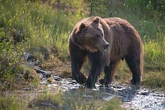 Kootenay Grizzly (dbushue) Tags: wild canada nature nikon britishcolumbia wildlife grizzly roadside canadianrockies 2014 kootenaynationalpark specanimal dailynaturetnc14 photoofthedaynwf14 dailynaturetnc15 photoofthedaynwf15