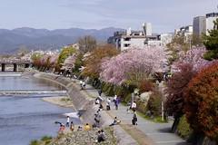 chrry blossoms, Kamogawa (river), Kyoto (jtabn99) Tags: japan river cherry kyoto blossom takasegawa kiyamachi