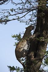 _JMH1359 (joannehedger) Tags: fig leopard masaimara pantherapardus joannehedger httpjoannehedgerblogspotcouk