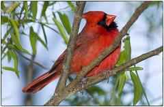 "Poser (5'20"") Tags: nature birds cardinal wildlife"