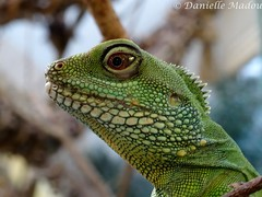 I'm cool (Mayalma) Tags: green water zoo groen dragon chinese artis agame wateragame