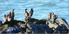 Cormorants, Swineley Bay, Bangor, County Down, Northern Ireland (BangorArt) Tags: bangor northernireland cormorant countydown crawfordsburn phalacrocoraxcarbo paulanderson bangorart swineleybay