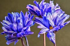 SPRING HAS SPRUNG! (Phyllis74) Tags: flower macro nature purple