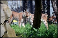 Lynx (ramonawings) Tags: pet paris france cute love animal zoo sleep asleep parc lynx vincennes felin zoologique sauvage faune mammifere lynxs zoodevincennes faunesauvage parczoologiquedeparis