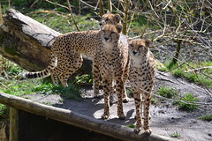 DSC_4241 - North African Cheetahs (102er) Tags: uk nature animal animals fauna zoo nikon wildlife chester tamron 70300 d3100