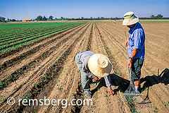 CENTRAL VALLEY, CALIFORNIA - Extension agent Michael Yang and Farmer Joe Xiong in sweet pea fields (Remsberg Photos) Tags: california usa men field work farming harvest grow hats sunny rake fresno ag sweetpea agriculture horticulture