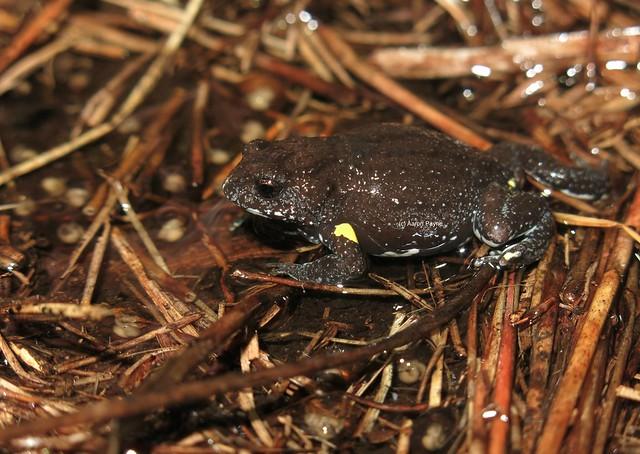 Dendys Brood Frog (Pseudophryne dendyi)