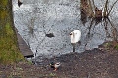 am  Villenhofer Maar (mama knipst!) Tags: bird spring swan natur schwan vogel frühling