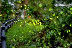 DSC6499~3 Fireflyes (michaeliao27) Tags: longexposure night firefly 夜色 螢火蟲 長時間曝光 中正露營區 nikond610 台中市中正露營區 nikonafnikor50mm118d fireflyestheflightpath