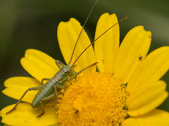(Patrcia. Ferreira) Tags: green nature canon outdoors eos is insects l 6d malmequer
