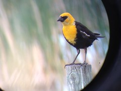 Yellow-headed Blackbird (kidbirder) Tags: