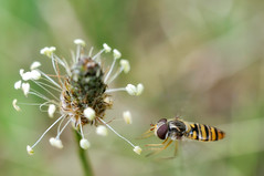 hoverfly (Fotogezwitscher) Tags: hoverfly fly insect flower flying animal plant macto