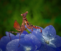 Jeepers Creepers (kathybaca) Tags: nature animal animals bugs bug insect insects prey pray prayingmantis budwing invertabrate color blue macro predator earth planet world wildlife