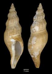 MOL_ 1850_B_surinamensis_2332_01_371x524.gif (MaKuriwa) Tags: mollusca gastropoda neogastropoda fasciolariidae buccinofusus