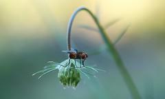 En piste (leathomson83) Tags: mouche bokeh macro carottesauvage fleur vert