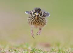Reed Bunting (vause_gary) Tags: fledgling babybird pov emberizaschoeniclus helpless