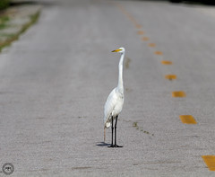 Why did the Great Egret cross the road??? (Mike Matney Photography) Tags: 2016 canon eos7d horseshoelake illinois july midwest bird birds egrets herons nature wildlife great egret
