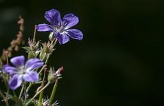 les deux fleurs en lumire (mrieffly) Tags: graniumsauvage canoneos50d 100400issriel