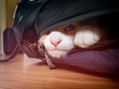 Sneaky Cheeks (cuppyuppycake) Tags: pet cat ginger backpack hiding funny paw cute indoor kitchen peeking