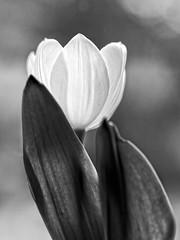 P7150004t_xx (Mark_Daniels) Tags: bw olympus tulip f18 45mm j23k mzuiko