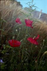 Intoxication with summer (cotnari73) Tags: summer poppy poppies analogue fuji200 hemp rus fujicolor intoxication c41 zenit11 helios444 sommarrus