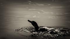 Duck Bath (pedraw8) Tags: duck lake water drop bath swim canon eos 400d 75300 75300mm usm ef 456 summer