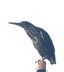 Green Heron on Lake Thoreau (procktheboat) Tags: greenheron lakethoreau restonvirginia restonva bird