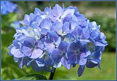Die ganze Welt ist himmelblau ... (Kindergartenkinder) Tags: burg hlshoff kindergartenkinder hortensie garten blte havixbeck pastell natur
